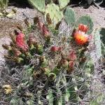 barrelcactus3-150x150