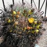 barrelcactus4-150x150