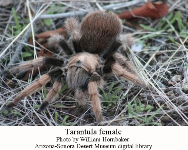 Tarantula female