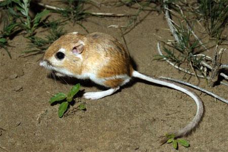 kangaroo-rat3