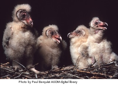 Barn-owl-chicks