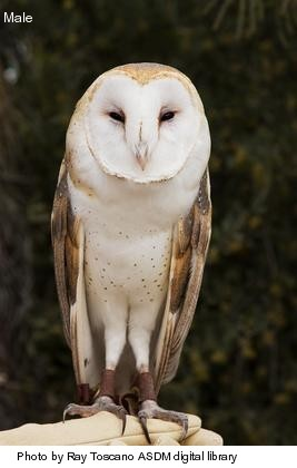 Barn-owl-male