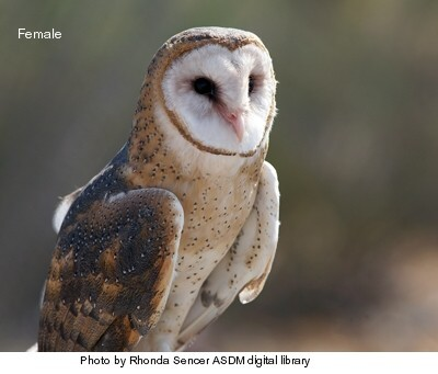 Barnowl-female