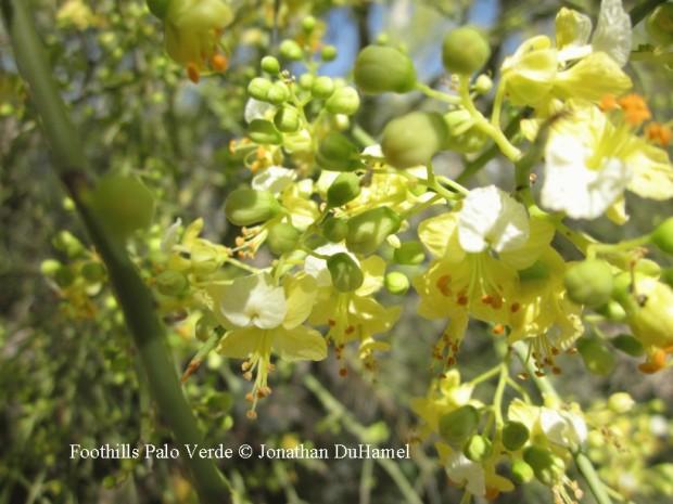FoothillsPV flower
