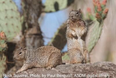 rock-squirrel
