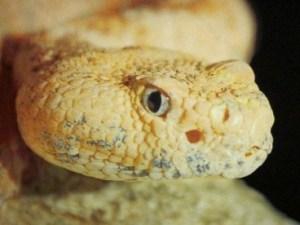 Speckled-rattlesnake
