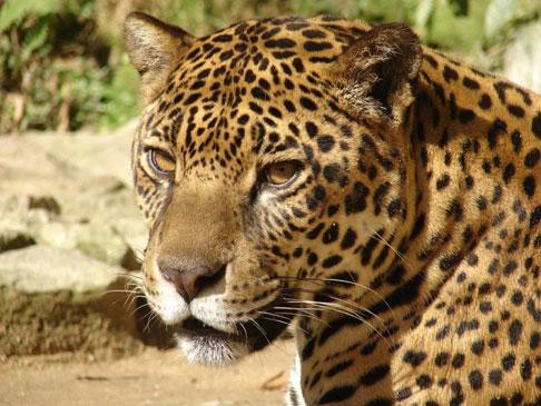 Jaguar Listing and Habitat Designation Based on Junk Science | wryheat