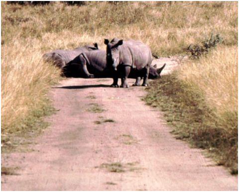 Rhino in road