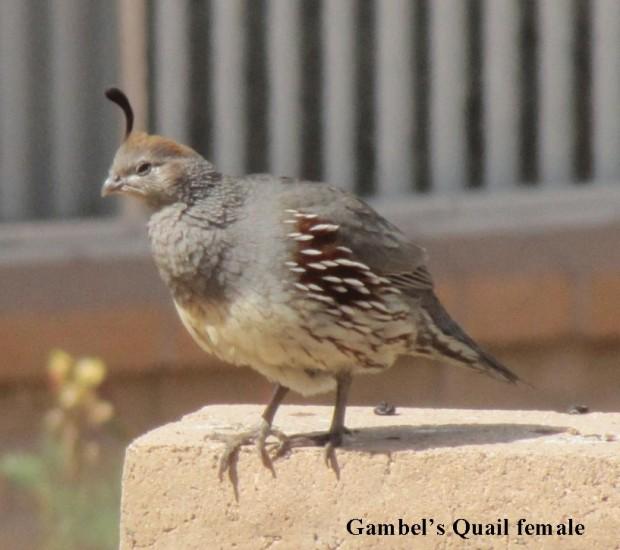 Gambel-F