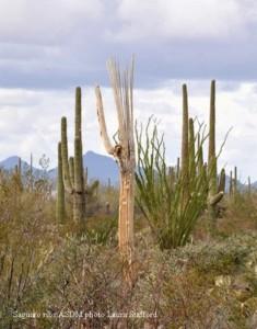 Ribs-saguaro1-235x300