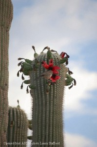 saguaro-fruit-199x300