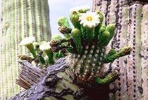 saguaroFlower11-300x202