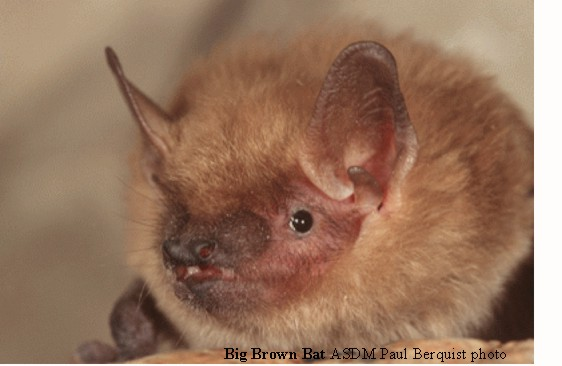 Big-brown-bat-Paul-Berquist