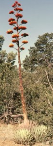 Agave2 stalk