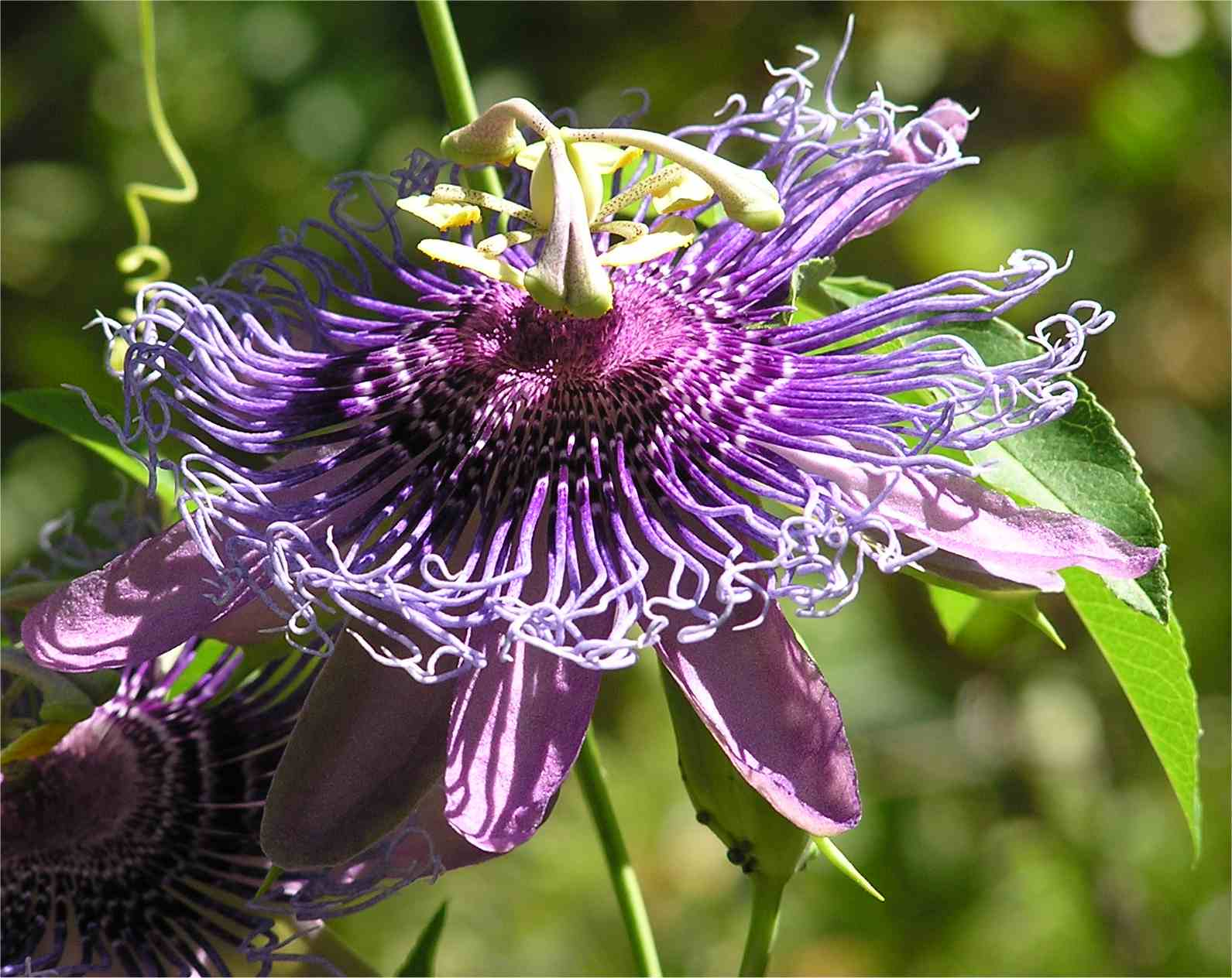 Arizona Passion Flower Wryheat