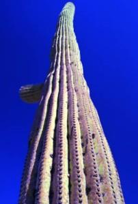 Saguaro99-75-7