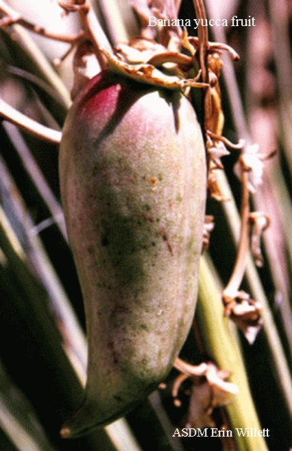 banana yucca fruit Erin Willett