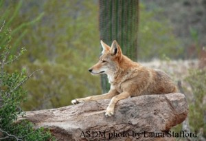 coyote-asdm