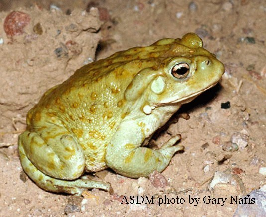 Sonoran-desert-toad