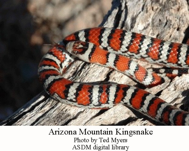 Kingsnake Arizona Mtn