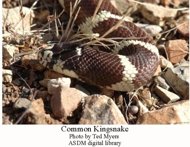 Kingsnake common