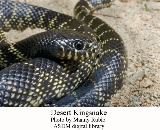 Kingsnake desert