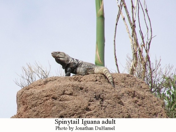 Spinytail Iguana adult