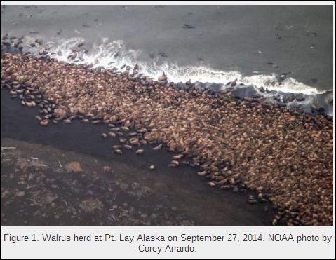 Walrus Sep 2014