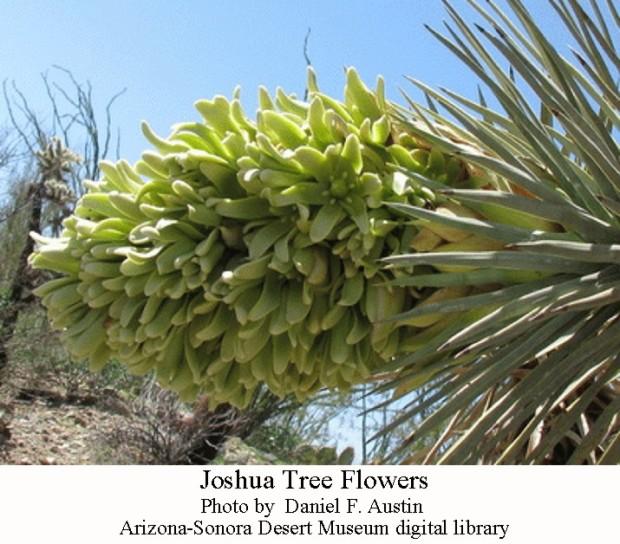 Joshua tree flowers