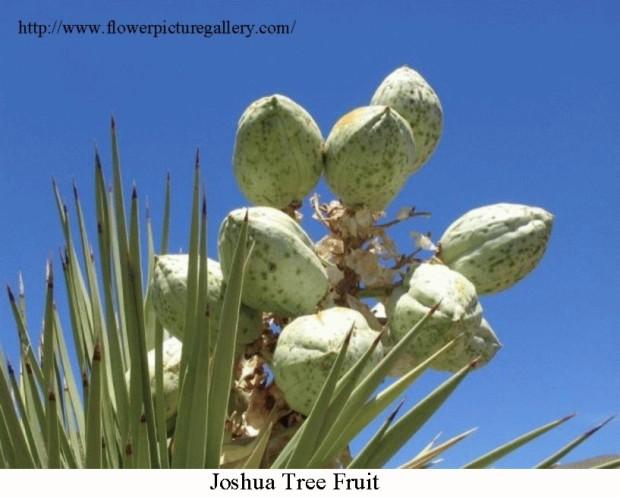 Joshua Tree Fruit