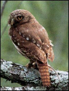 Pygmy owl USFS