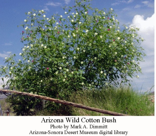 AZ wild cotton bush