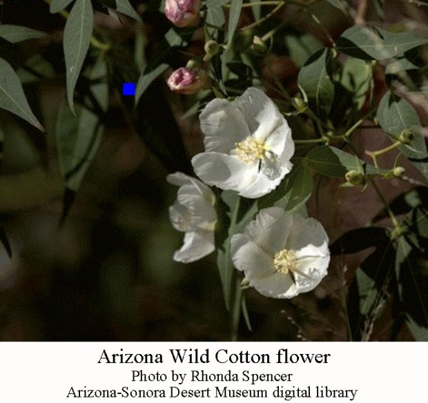 AZ wild cotton flower