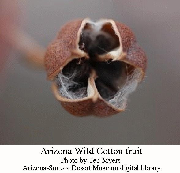 AZ wild cotton fruit
