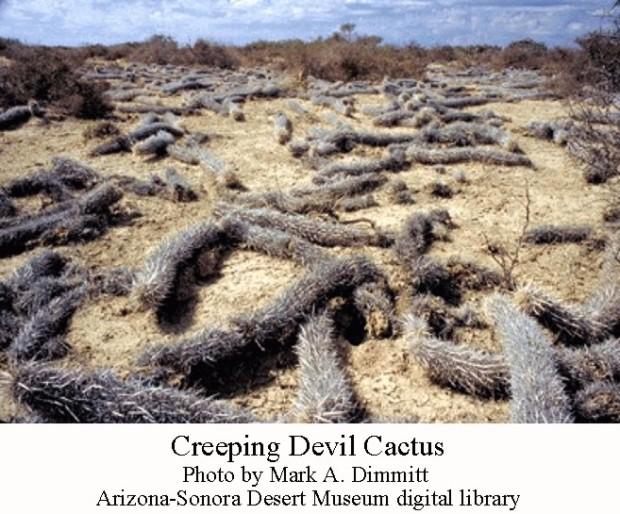 Creeping devil cactus