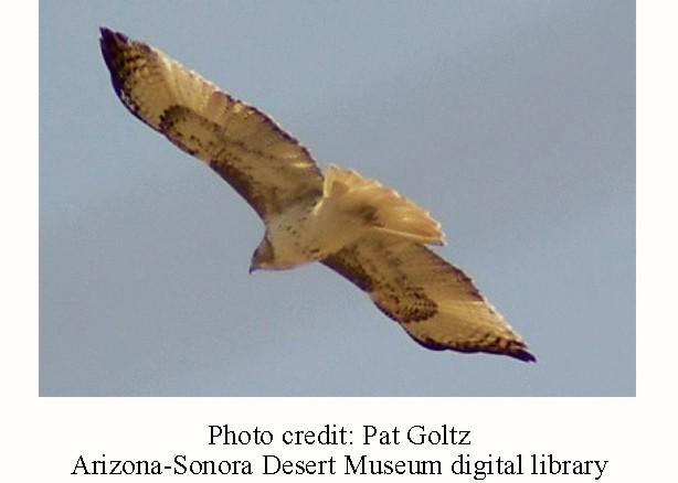 Red tail flying