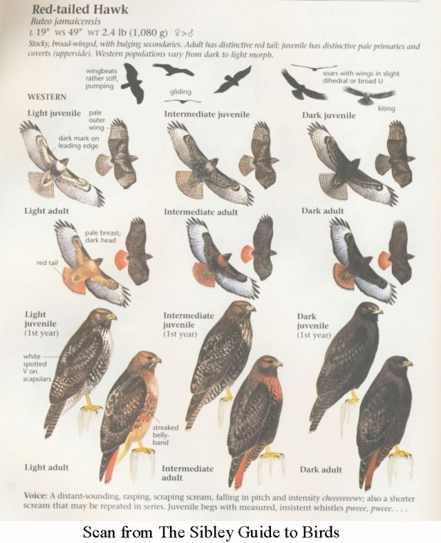 Red Tail variations