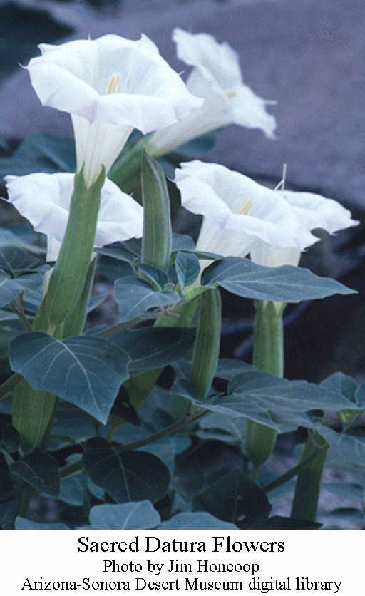 Sacred datura pretty poisonous and hallucinogenic wryheat the pretty lily like white flowers can reach up to six inches long and three inches wide the dark green leaves are sticky and can give off an unpleasant mightylinksfo