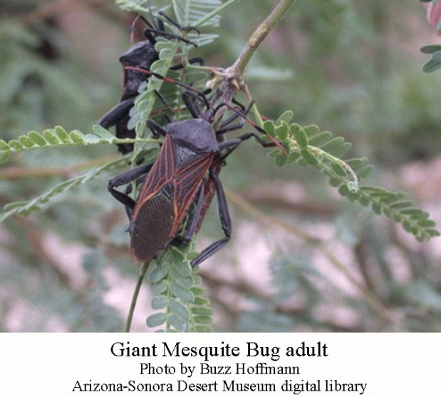 Giant Mesquite bug adult