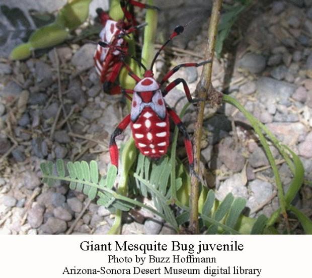 Giant mesquite bug juv