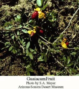 Guaiacum fruit