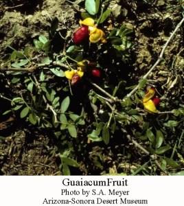 Guaiacum fruit