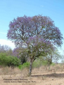 Guaiacum tree