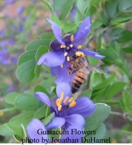 Guayacan flower 2