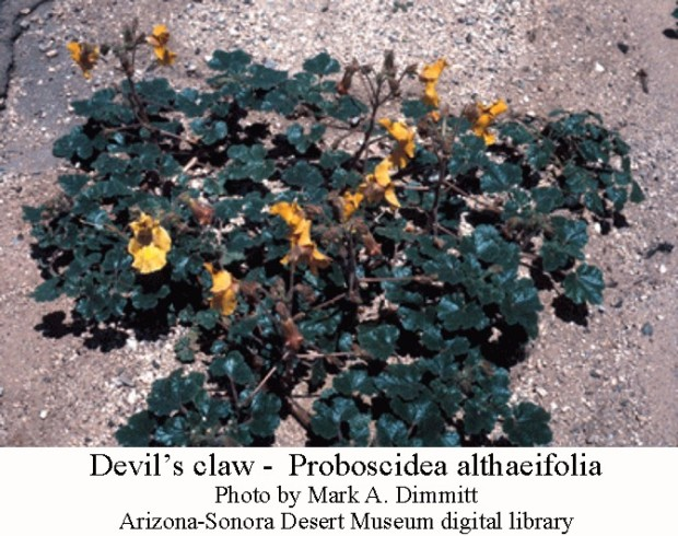 Devils claw plant