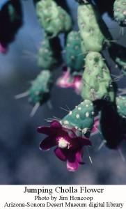 Cholla chain fruit flower