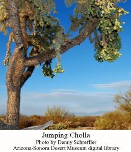 Cholla chain fruit