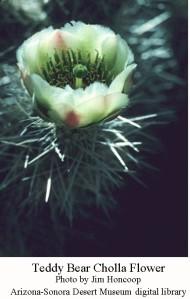 Cholla teddy bear flower