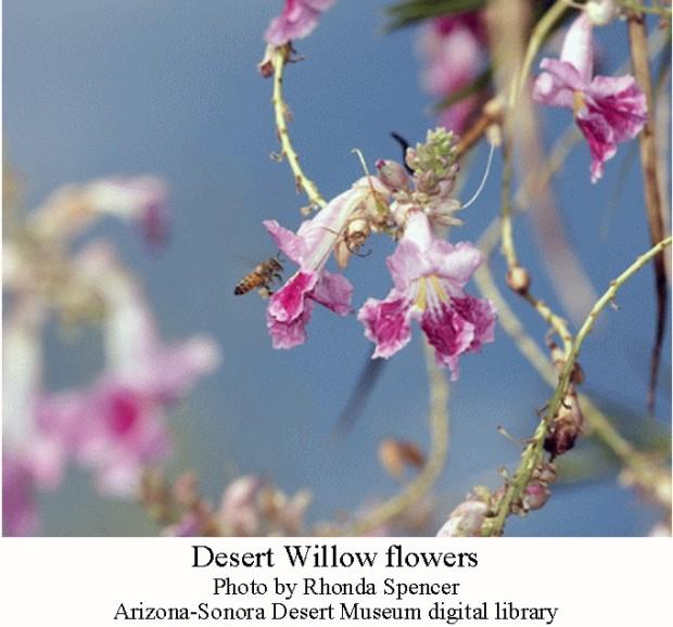 Desert willow flowers
