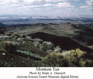 Mormon tea 1